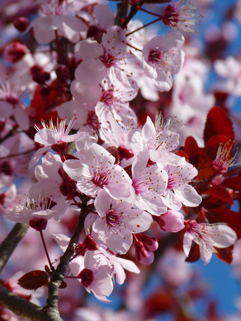 Über WaenaYoga - der innere Garten - Kirschblüte
